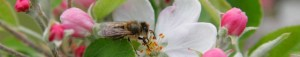 bee_in_apple_blossom-940x180