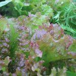 lettuce-1024x768
