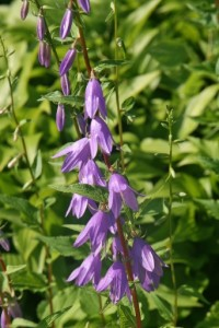 Creeping-Bellflower