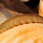 Cabbageworm Larvae